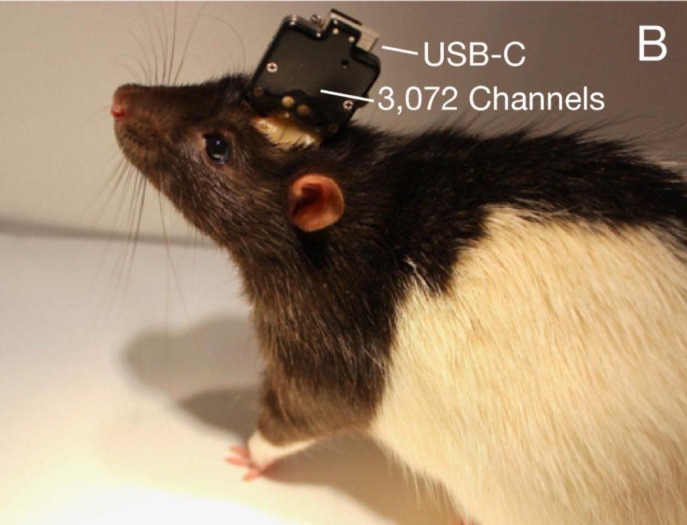 neuralink usb-c szczur