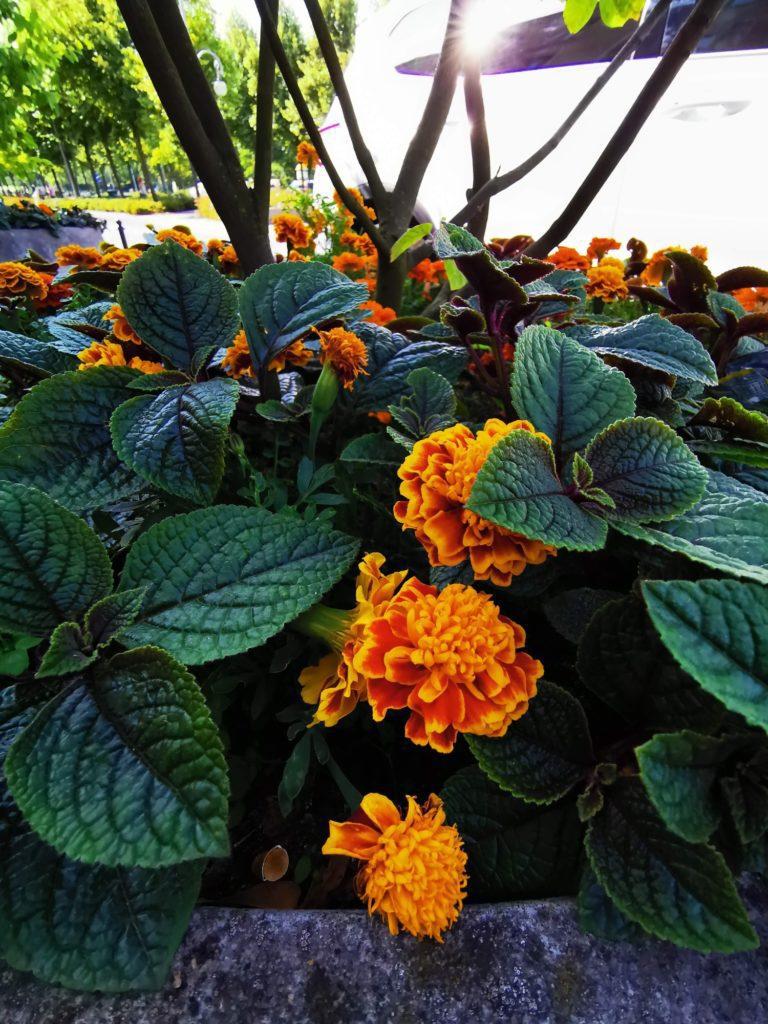 Huawei Mate 20x zdjęcie pomarańczowych kwiatów