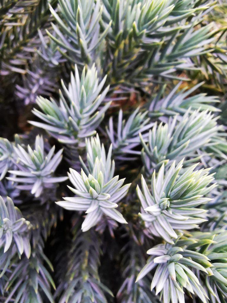 Huawei Mate 20 zdjęcie krzewu iglastego