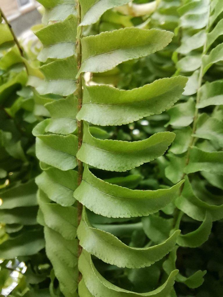 P40 Lite tryb makro liście paproci