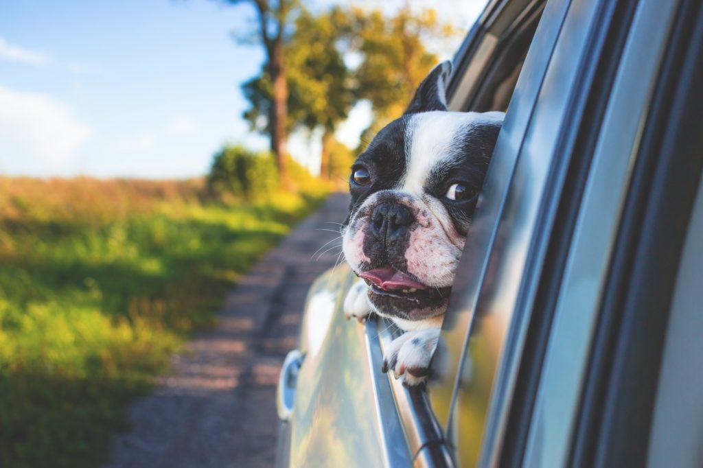 Pies w oknie samochodu