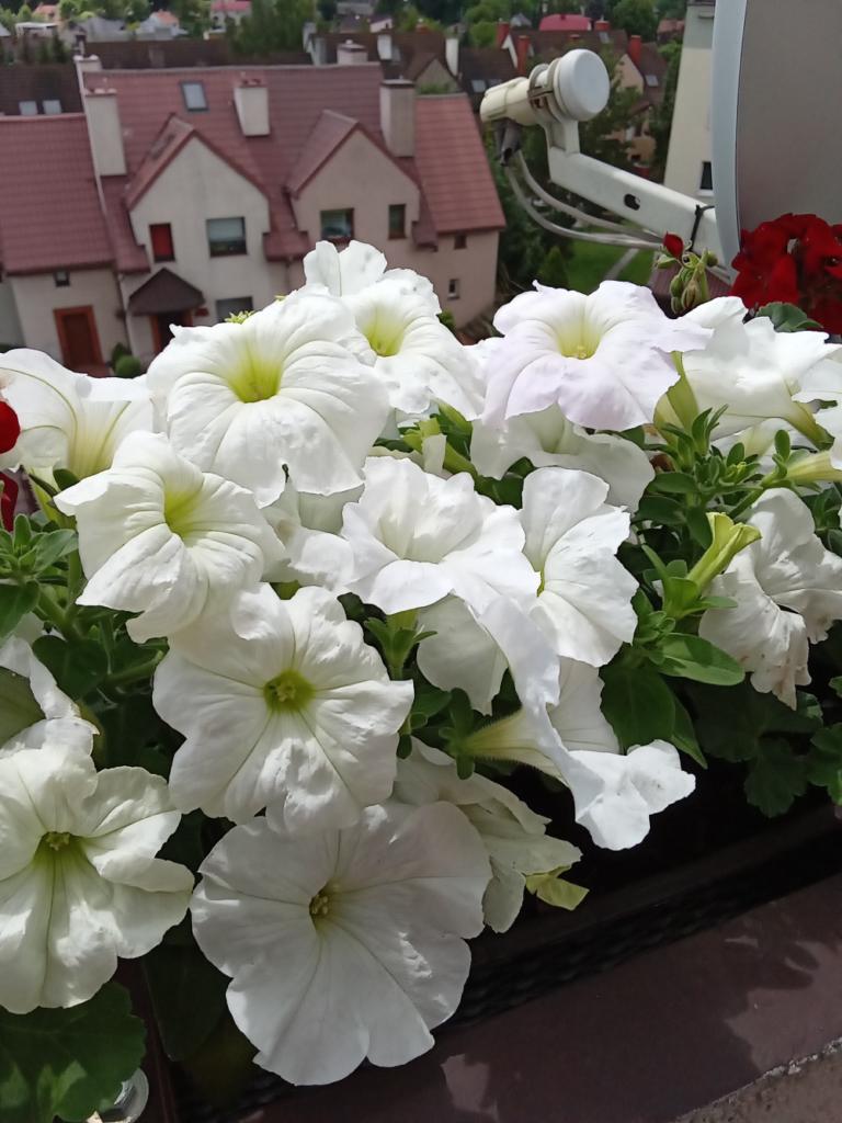 białe kwiaty- y5p huawei