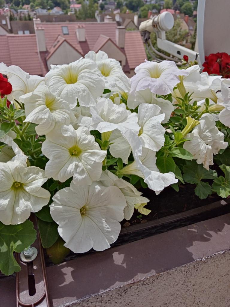 białe kwiaty- y6p huawei