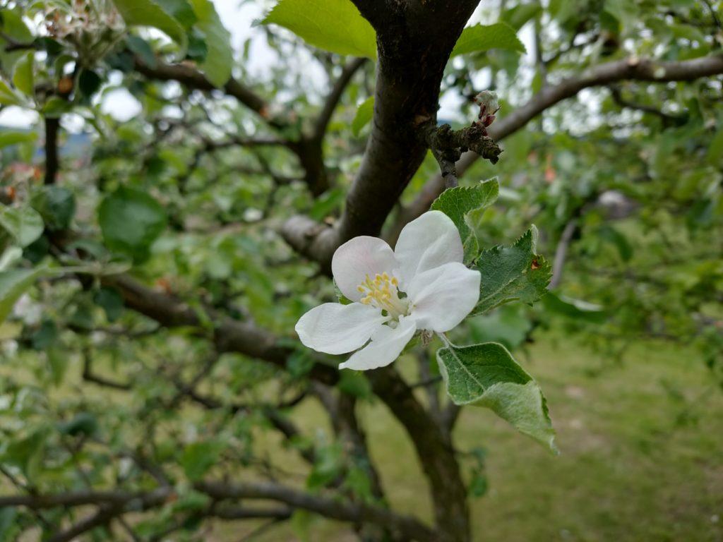 oppo reno3 pro zdjęcie kwiatu jabłoni