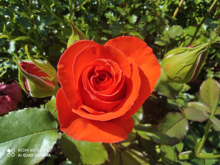 zdjęcie róży makro Redmi Note 9 Pro