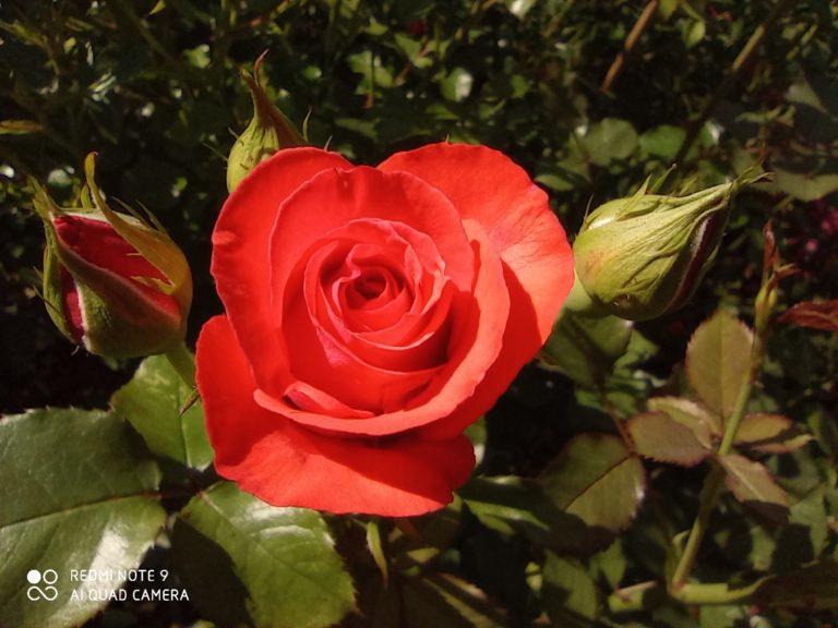 zdjęcie róży makro Redmi Note 9