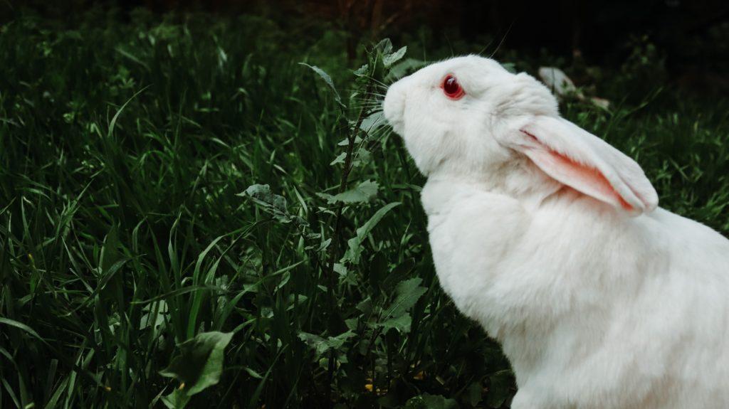 biały królik na trawie