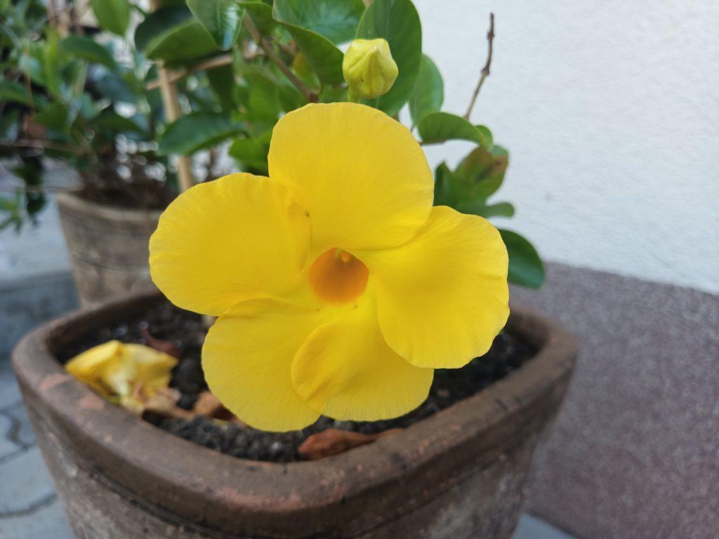 zdjęcie kwiatka oukitel wp7