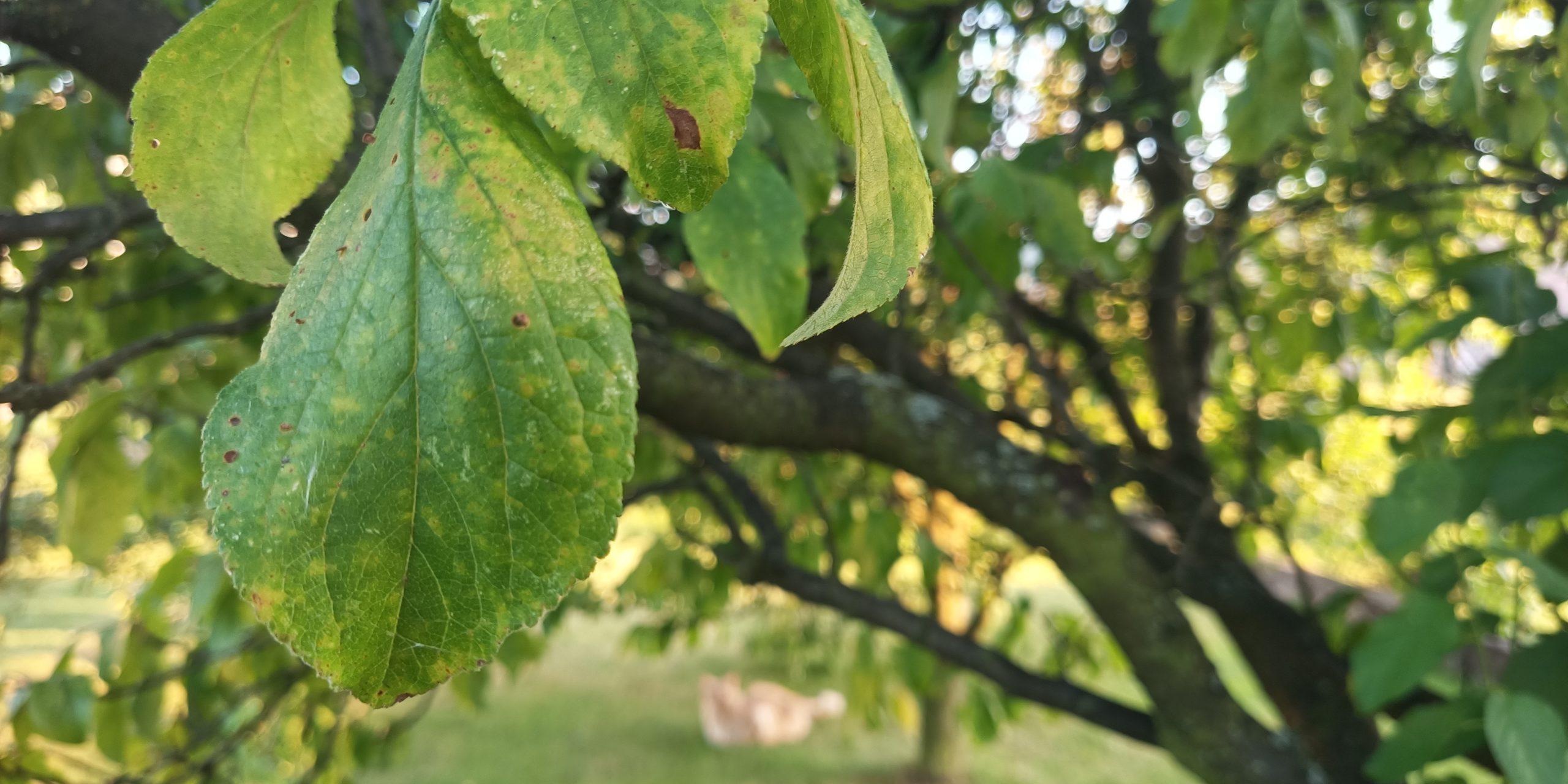 zdjęcie liści oukitel wp7