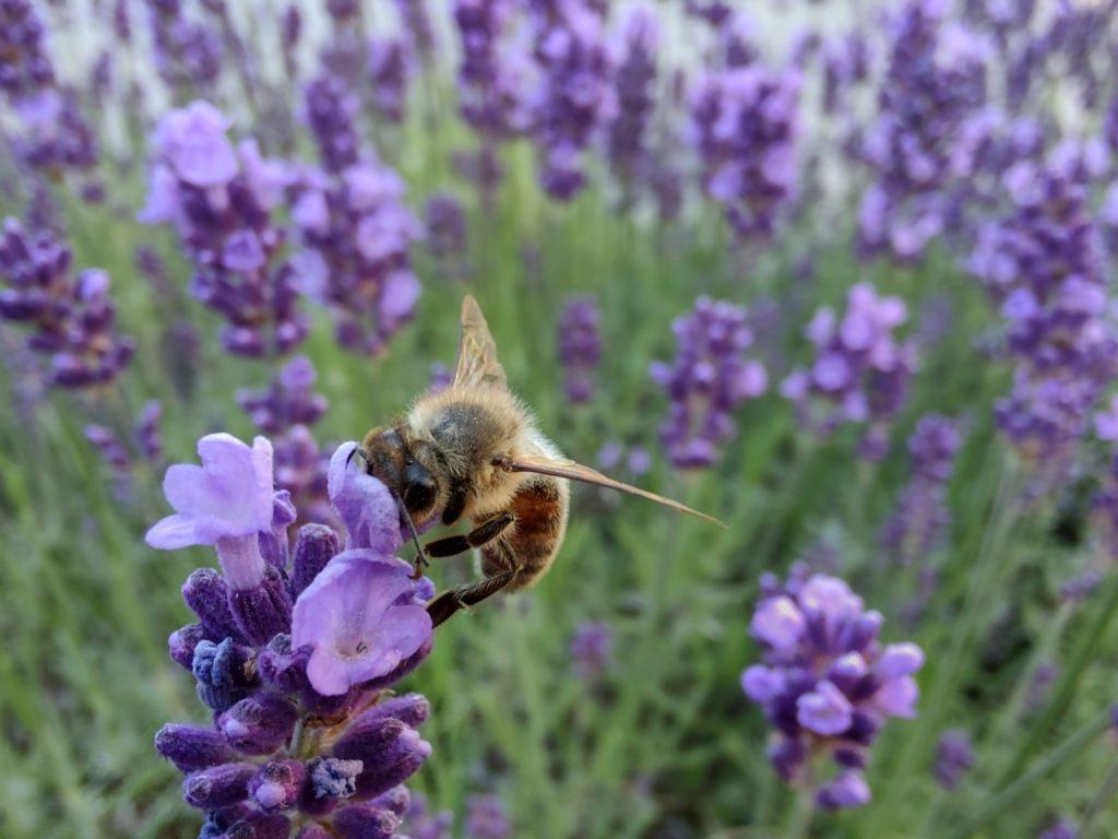 pszczoła na lawendzie zdjęcie w trybie makro motorola edge