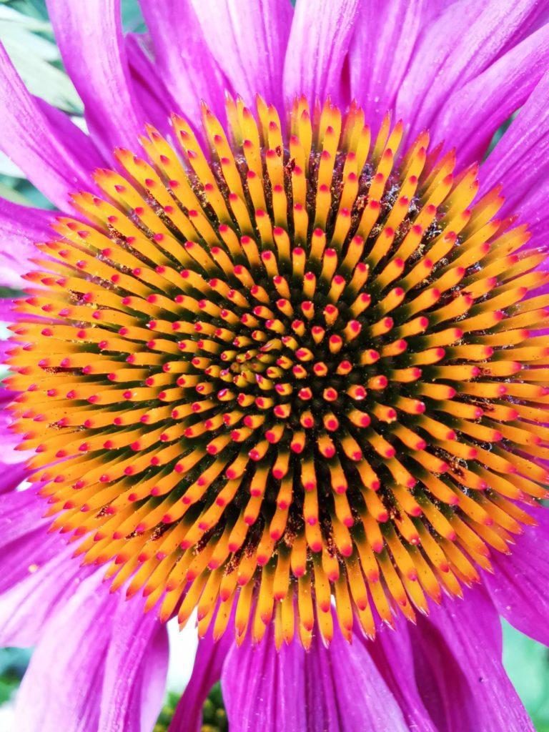 zdjęcie makro wnętrze kwiatu