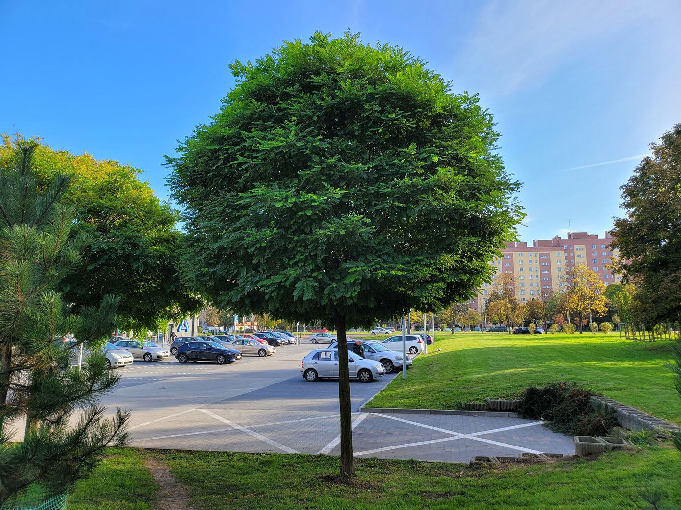 Z Fold2 drzewko