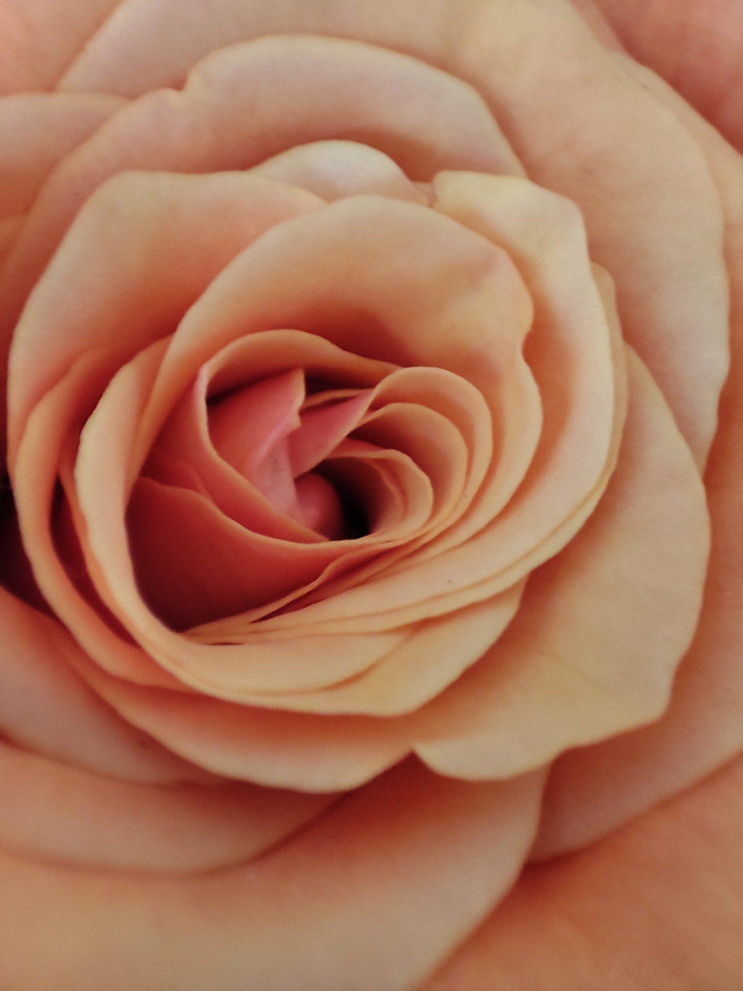 róża w trybie makro xiaomi mi 11