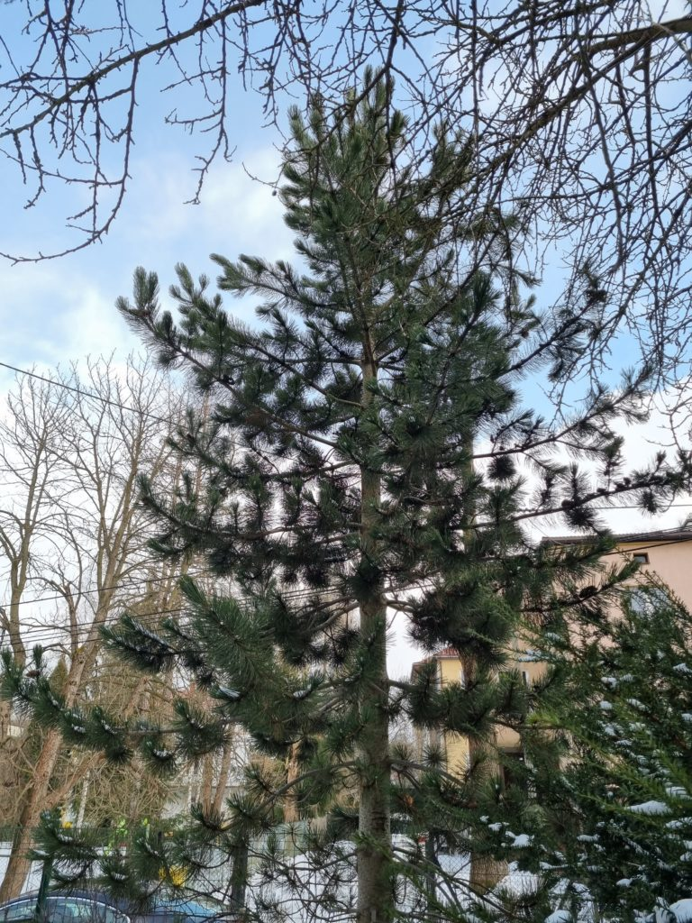 S21 główny czubek drzewa