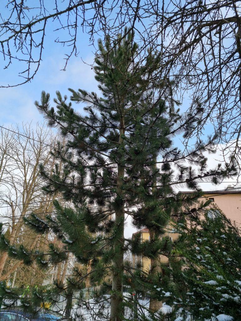 S21 Plus główny czubek drzewa
