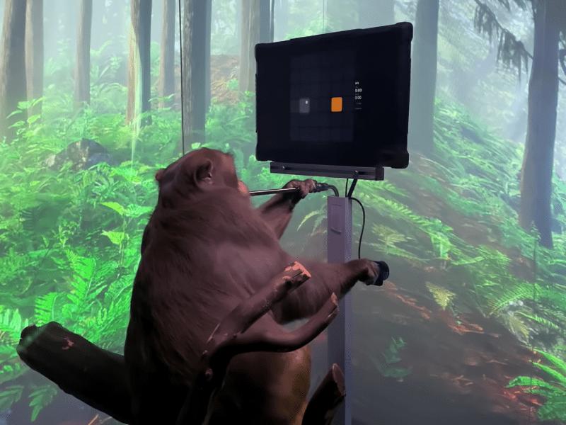 To nie małpie figle – Musk pokazuje, jak makak prowadzi rozgrywkę przy pomocy myśli