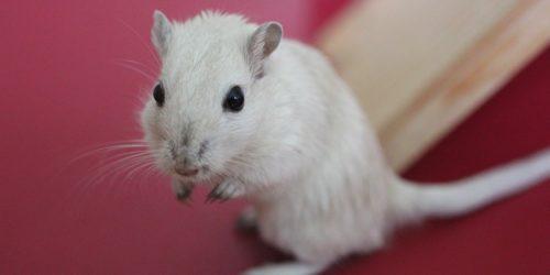 Naukowcy zmusili myszy do nawiązania więzi, atakując ich mózgi światłem