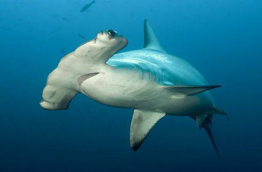 Rekiny wykorzystują pole magnetyczne Ziemi jako GPS?