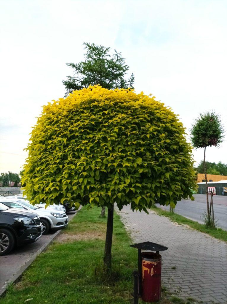 zdjęcie drzewa obiektyw główny Redmi Note 10 5G