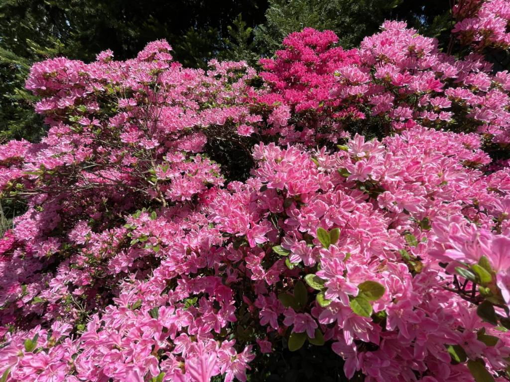 zdjęcie kwiatów iPhonem 12