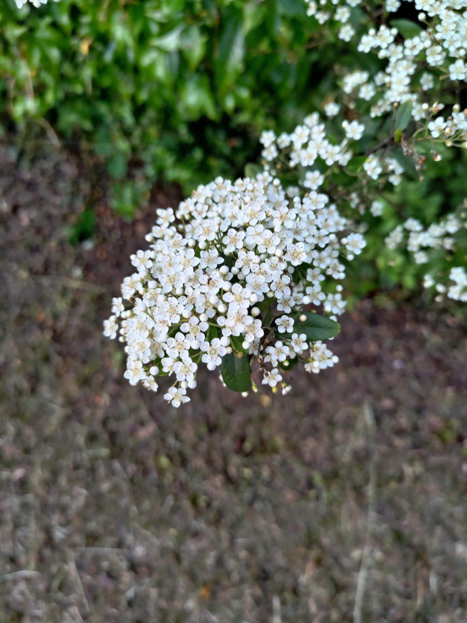 kwiat zdjęcie aparatem zenfone 8