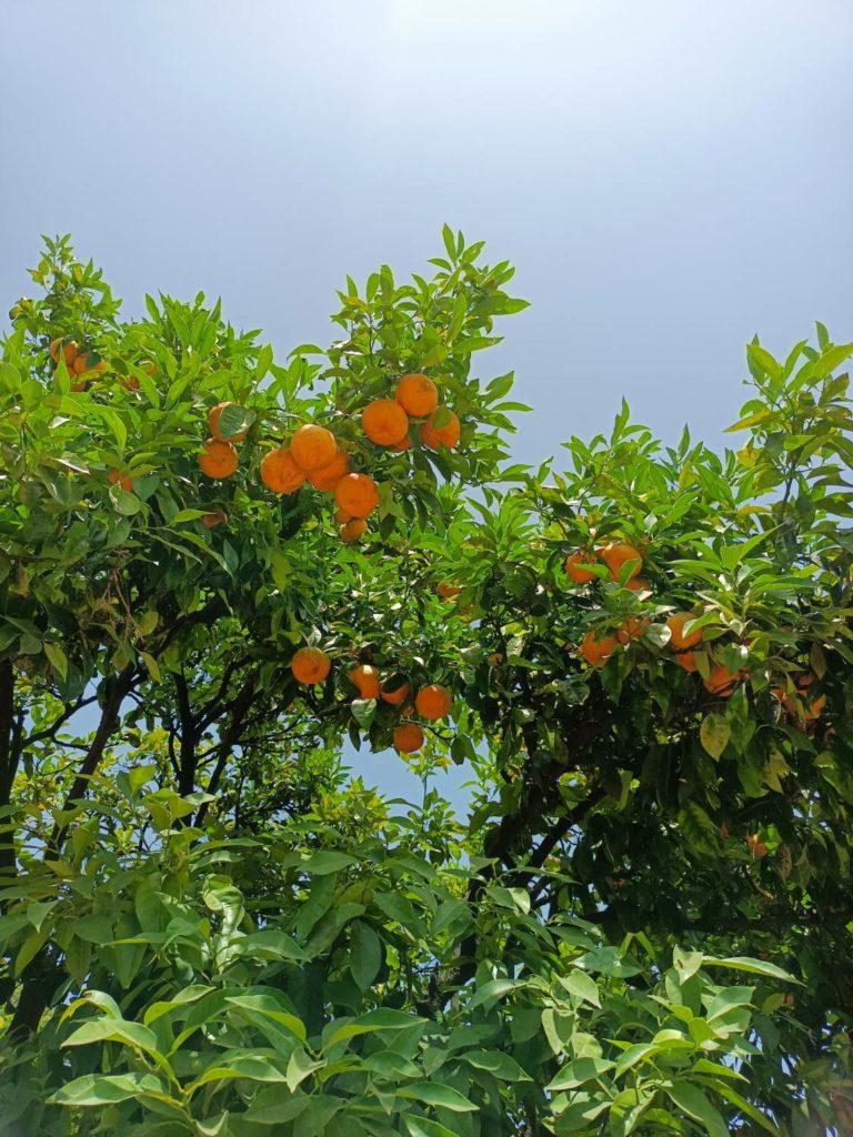 drzewo pomarańczowe w obiektywie głównym realme narzo 30 5G
