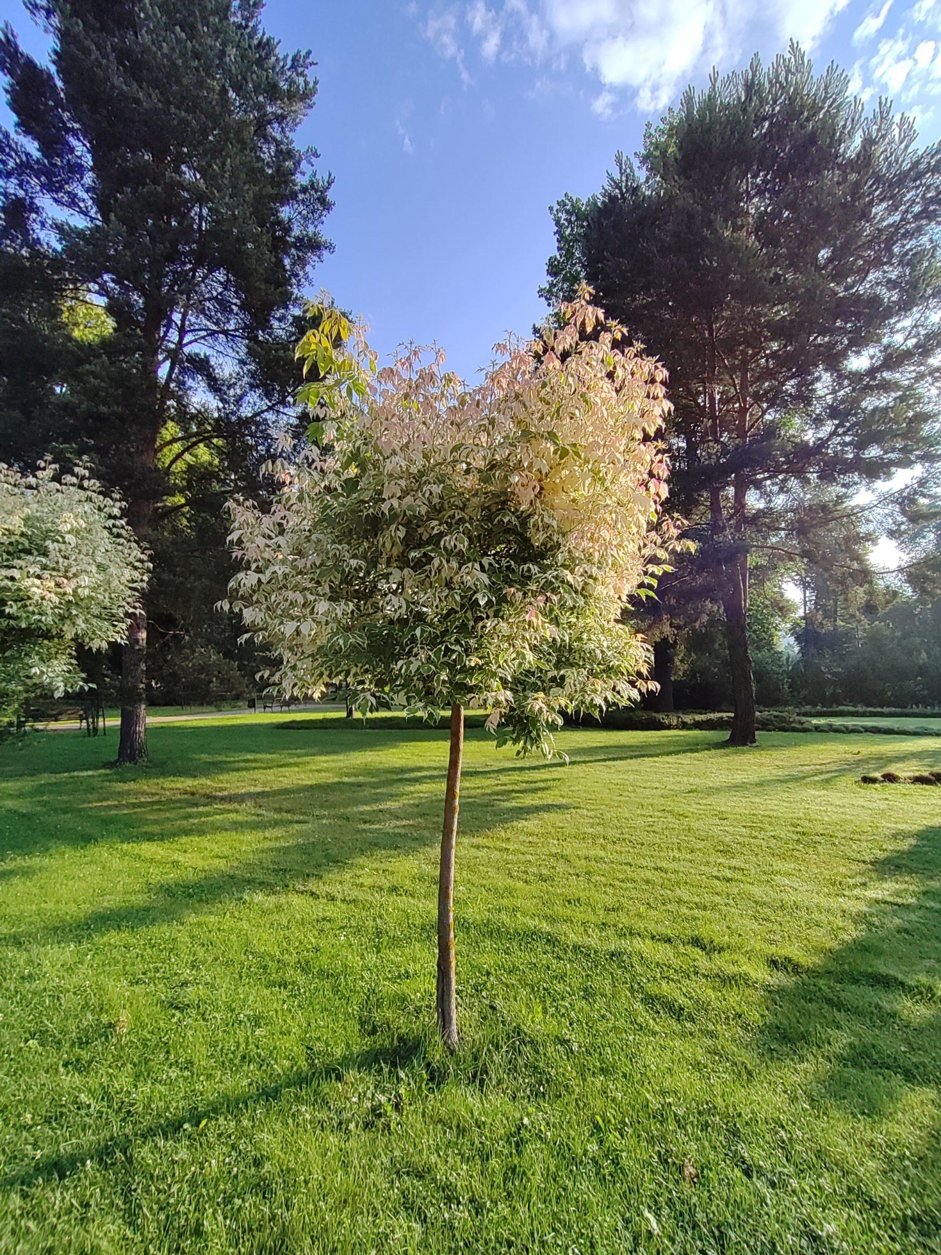 Nord CE 5G drzewko ultra