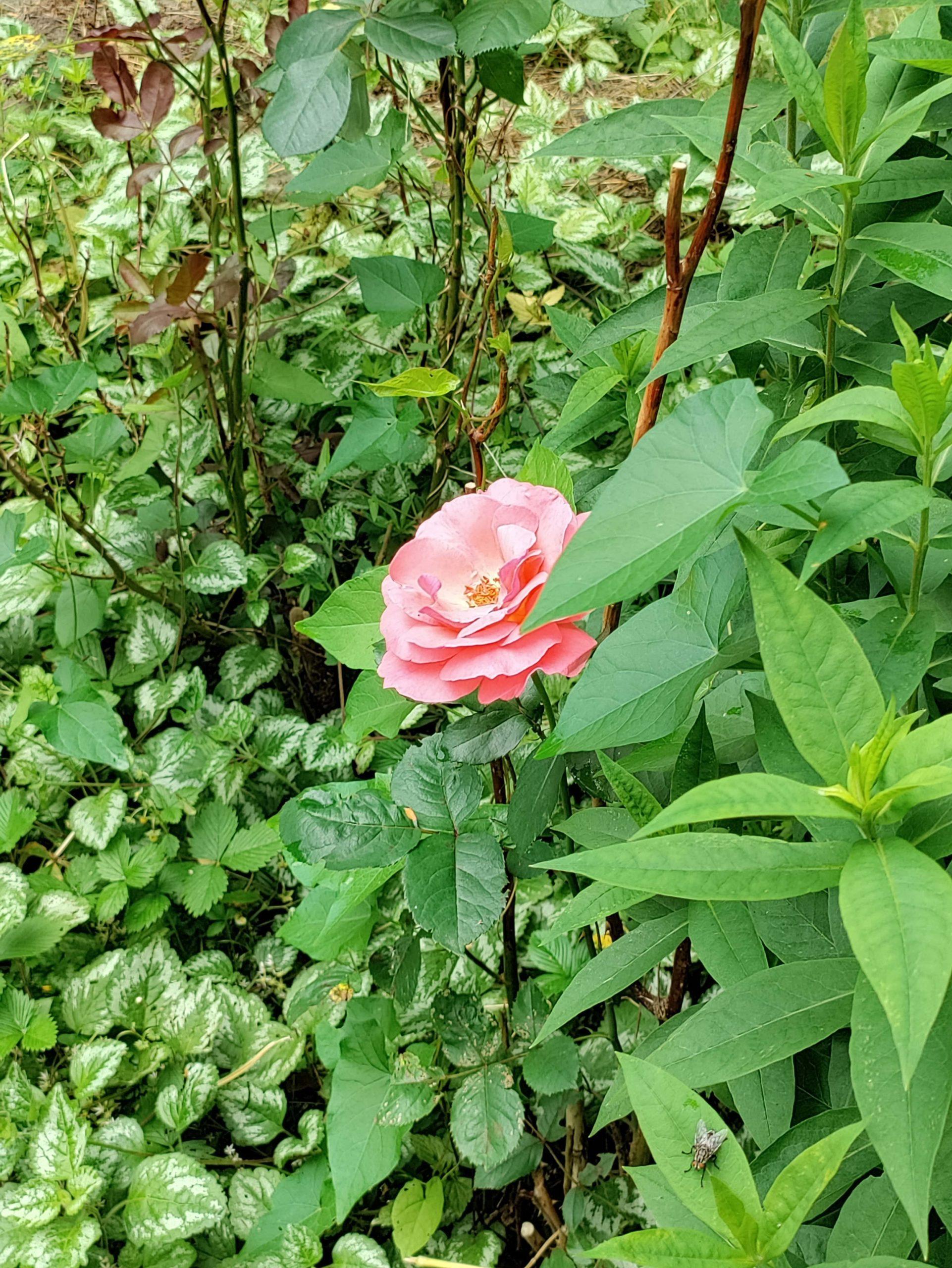 Nord CE 5G róża