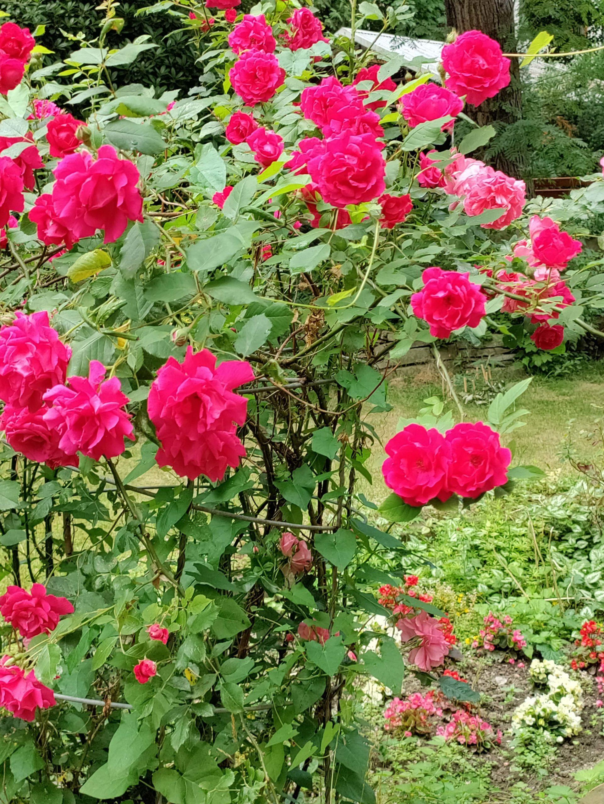 Nord CE 5G róże
