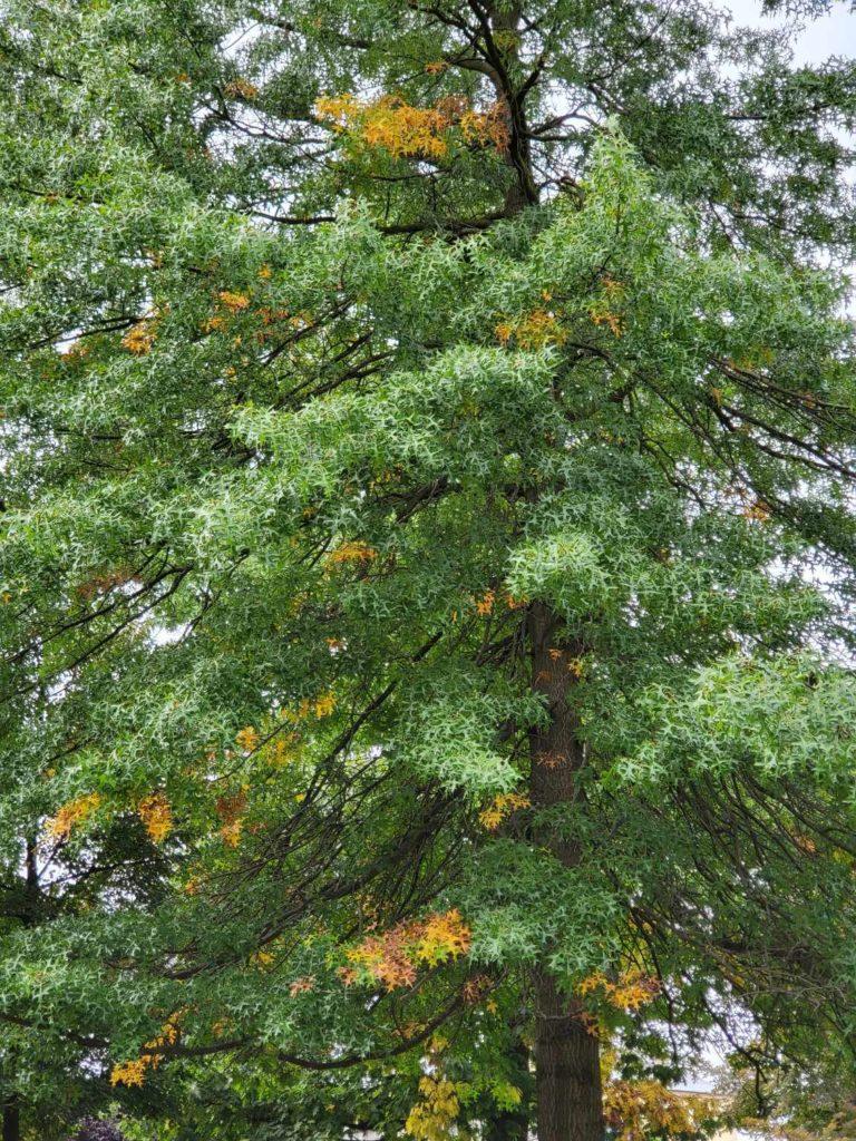 Galaxy Z Fold 3 zbliżenie 2x drzewo