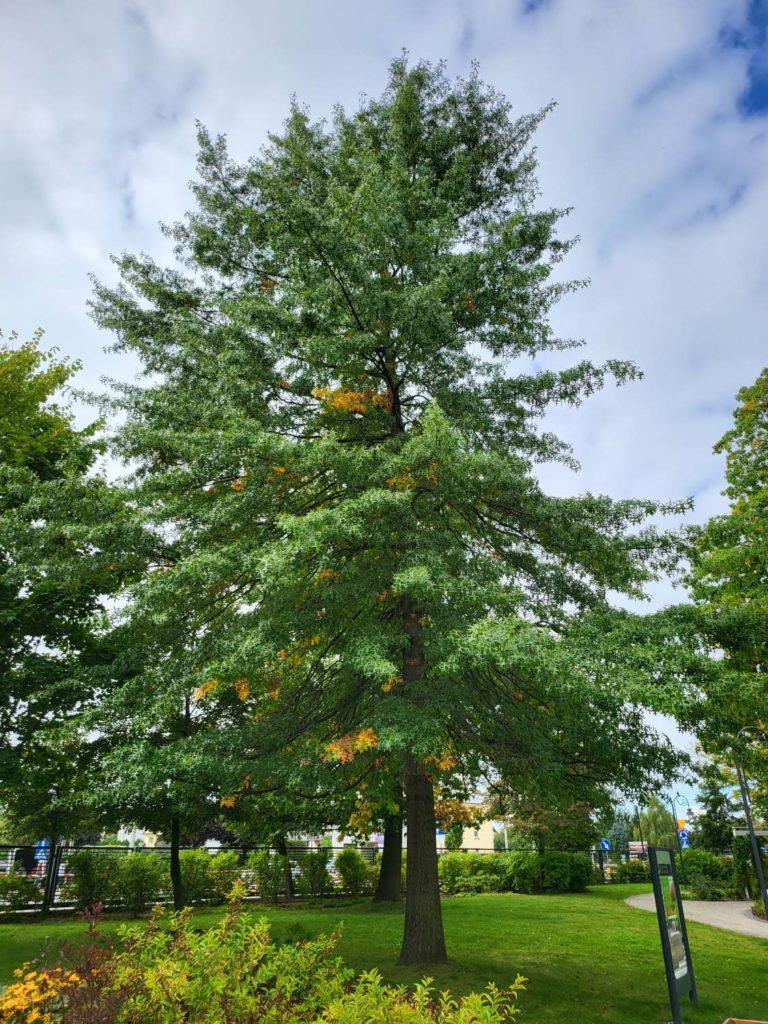 Galaxy Z Fold 3 główny drzewo