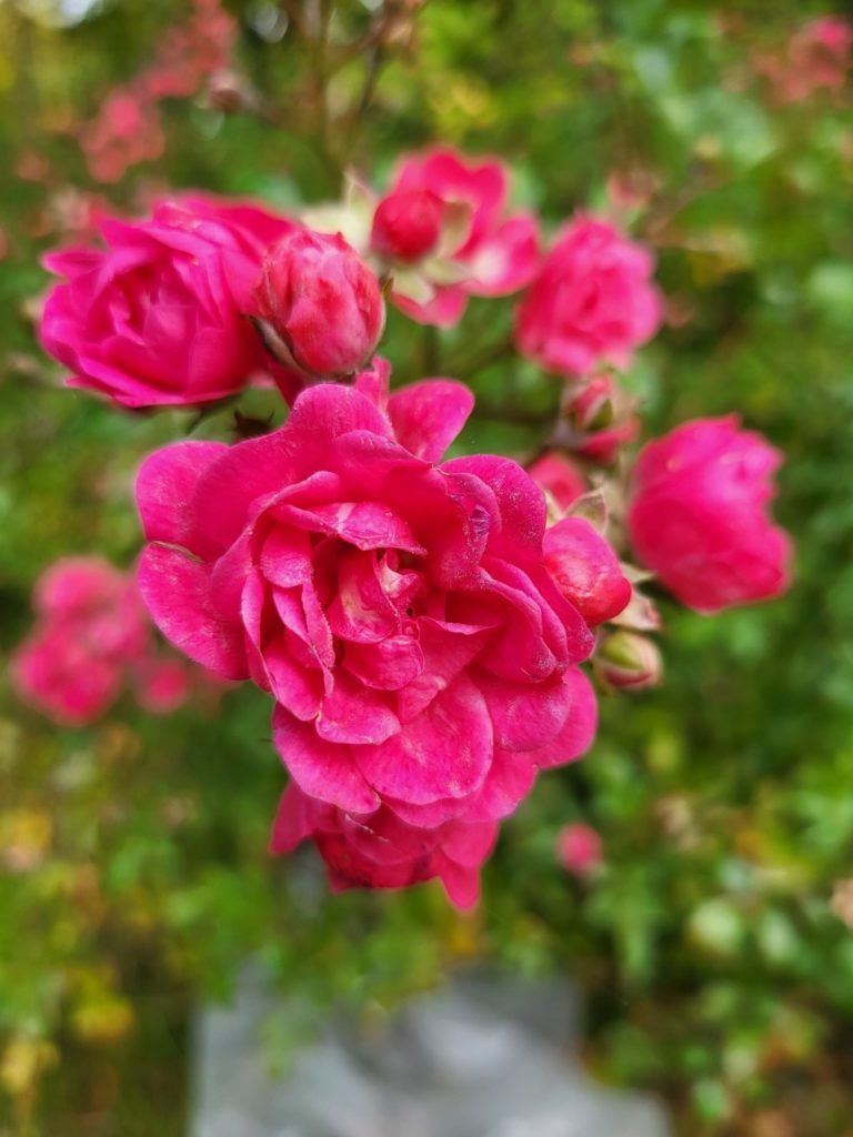 Galaxy Z Fold 3 makro róża
