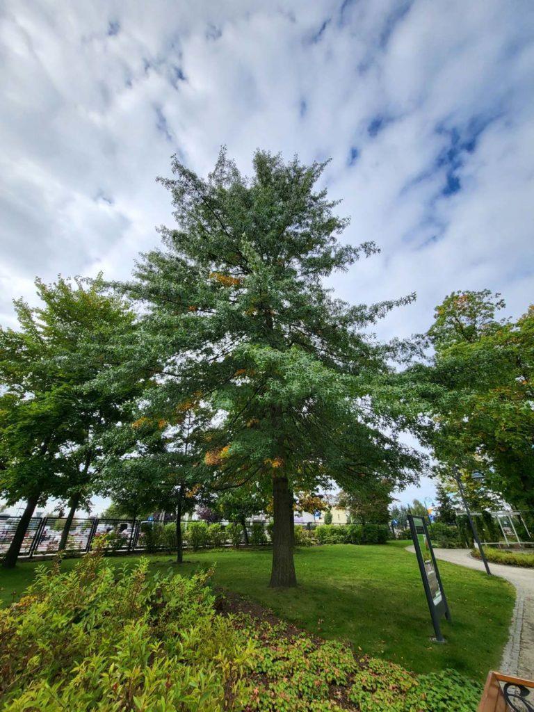 Galaxy Z Fold 3 główny ultraszerokokątny drzewo