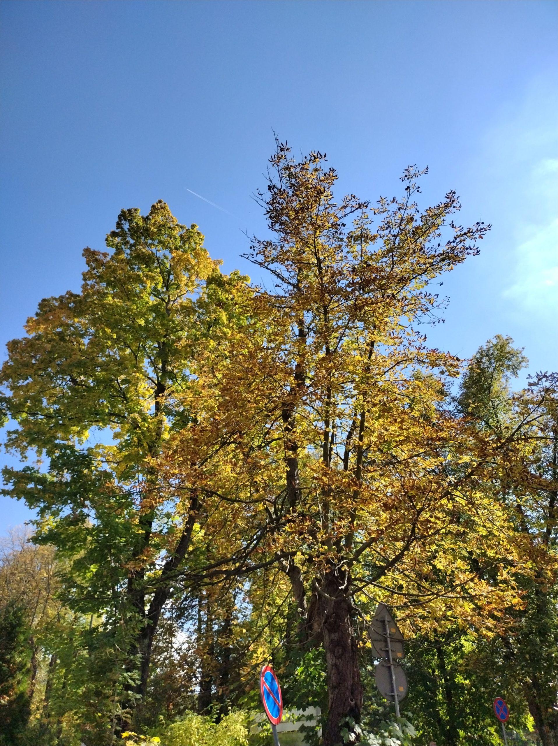 Moto G50 złote drzewa 2